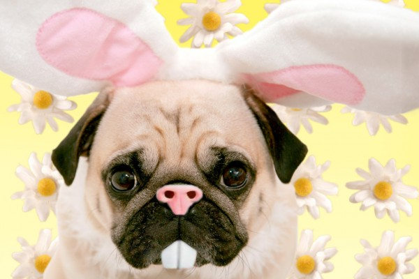 The Easter Pug