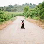 doggy-ring-bearer